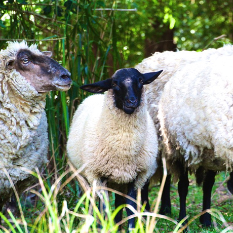 sheep at kangaroo valley winery accommodation