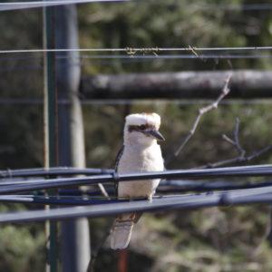 Kookaburra on vine irrigation line
