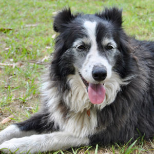 Molly the Collie