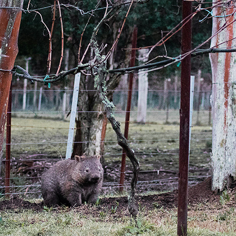 wombat int he vines at lyrebird ridge organic retreat