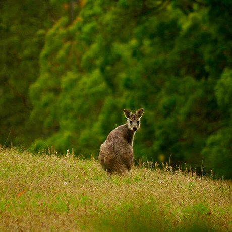 wallaby in lyrebird ridge paddocks
