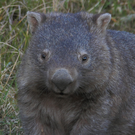 wombat in lyrebird ridge paddocks